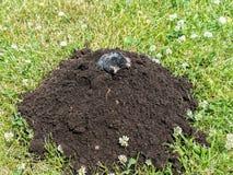 Mole in molehill Stock Image