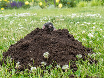 Mole in molehill Royalty Free Stock Images