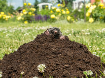 Mole in molehill Royalty Free Stock Photo