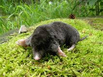 Mole on a moss Stock Image