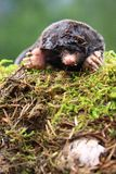 Mole general Royalty Free Stock Images