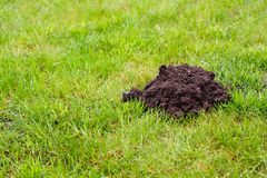 Mole Mound. Fresh molehill on a greenfield site in the morning Royalty Free Stock Images