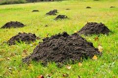 Mole mounds destroy garden. Mole mounds in green grass destroying garden lawn stock images
