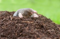 Mole in the nature. Mole and it`s hole in a garden royalty free stock photography