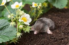 Mole in the garden. Mole out of hole- in vegetable garden royalty free stock photos
