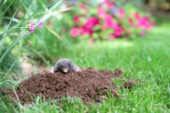 Mole in the garden. Mole out of molehill in a garden stock images