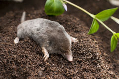 Mole out of soil. Mol out of soil in the garen stock photo