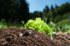 Mole. Peeking out of it's hole in the garden royalty free stock images