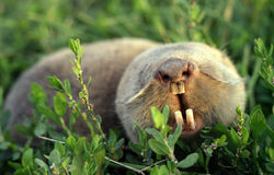 Mole rat Royalty Free Stock Photos