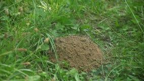 A mole's hill, growing bit by bit (part 1/2) stock video