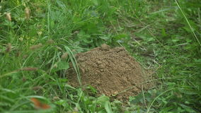 A mole's hill, growing bit by bit (part 2/2) stock footage
