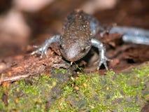 Mole-Salamander-Illinois-wild lebende Tiere Lizenzfreies Stockbild