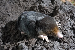 Mole in sand Royalty Free Stock Photos