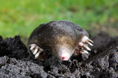 Mole in sand Stock Image