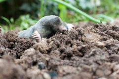 Mole in a soil Stock Images