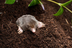 Mole in the soil hol. E in the garden royalty free stock photography