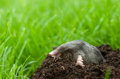 Mole in soil hole. Profil of mole digging the soil stock photography