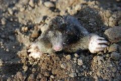 Mole, subterranean lifestyle Royalty Free Stock Image