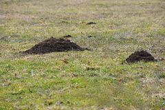 Mole, Talpa europaea, crawling out of brown molehill, green grass at backgrond. Mole, Talpa europaea, crawling out of brown molehill, green grass at backgrond Stock Photo