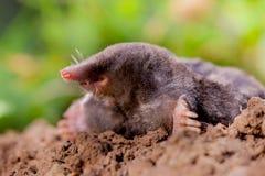 Mole (Talpa europaea) in Natural Environment