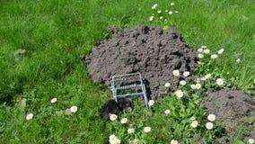 Mole trap dead Stock Image