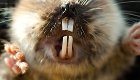 Mole vole Incisors Royalty Free Stock Photos
