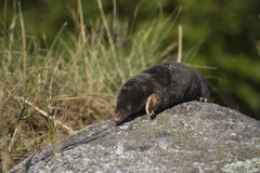 Mole walking on a stone, Vosges, France Royalty Free Stock Photo