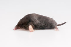 Mole on a white background Stock Photos