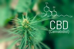 Molecular structure medical chemistry formula cannabis of the CBD. Medicinal cannabis with extract oil.  stock illustration