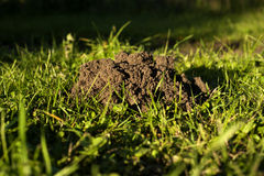Molehill. This is a big problem of every farmer, animals creating molehills Stock Photos