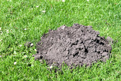 Molehill close up in green grass. Molehill close-up in the green grass of a meadow or garden. Serving as a concept for stealthy, unobserved activity, eyesight ( stock images