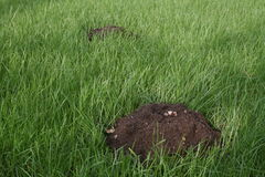 Molehill on deep green grass Royalty Free Stock Image