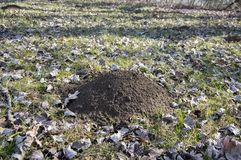 Molehill on early spring meadow, conical mound of loose soil raised by mole. Dry leaves around royalty free stock images