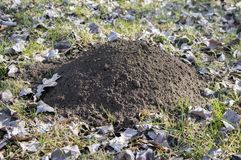 Molehill on early spring meadow, conical mound of loose soil raised by mole. Dry leaves around stock photos