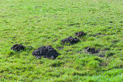 Molehills in the pasture Royalty Free Stock Photo