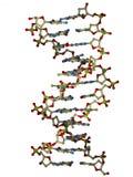 molekyl för dubbel spiral för dna Arkivbilder