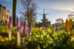 Molen de Valk in Springtime. Leiden in Springtime in the front crocuses with in the back the focus on the famous landmark Molen de Valk Stock Image