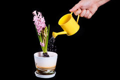 Molhando a flor Foto de Stock Royalty Free