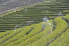 Molhando na plantação de chá, Chui Fong Tea Plantation, Mae Salong Mountain, Chiangrai, Tailândia Imagens de Stock