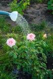 Molhando um arbusto das rosas de uma lata molhando Imagem de Stock