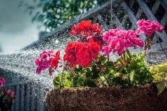 Molhando uma cesta de suspensão da flor imagem de stock royalty free