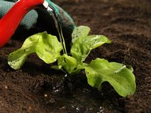 Molhando uma planta, close up Imagens de Stock