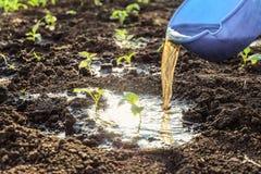 Molhar com adubos de tiros vegetais novos Plântulas da pimenta na terra aberta imagem de stock royalty free