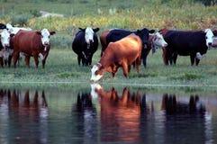 Molhar do gado Imagens de Stock