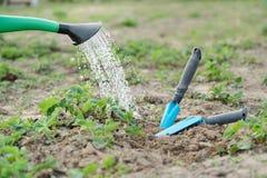 Molhar do jardim pode fechar-se acima das morangos molhando, com as ferramentas da m?o para cultivar o solo imagens de stock