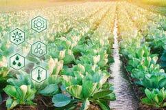 Molhar natural da agricultura De alta tecnologia e inovações na agroindústria Qualidade do estudo do solo e da colheita científic fotografia de stock