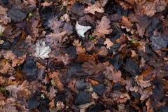 Molhe as folhas caídas Imagens de Stock