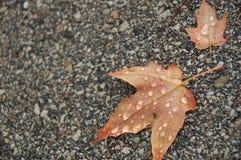 Molhe as folhas no pavimento Imagens de Stock