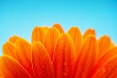 Molhe as pétalas alaranjadas da flor da margarida, tiro macro Foto de Stock