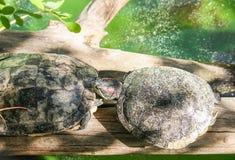 Molhe as tartarugas na fileira que marcham em um log fotos de stock royalty free
